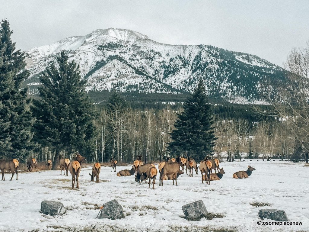 Elks in Banff National Park, Canada. The perfect 5 day Banff Itinerary for non-hikers. Enjoy a gondola ride, hot springs with mesmerising mountain views, relax by lakes & gardens in Banff!
