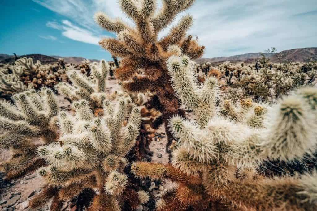 Cholla Cactus Gardens in Joshua Tree