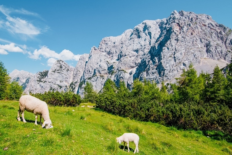 Sheep grazing in the mountins of Vrsic pass, Julian Alps